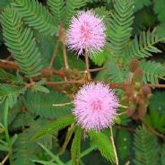 Mimosa Pudica 5 grams - Bulk Discounts available